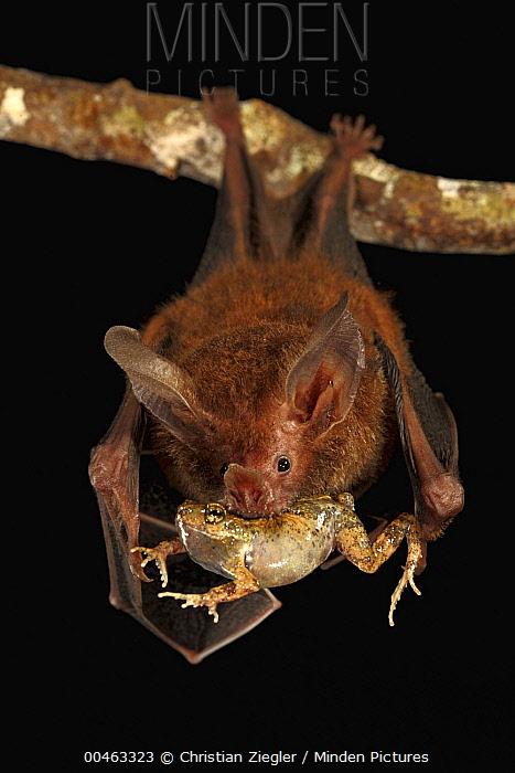 Fringe-lipped Bat (Trachops cirrhosus) eating Tungara Frog (Physalaemus pustulosus), Smithsonian Tropical Research Station, Barro Colorado Island, Panama  -  Christian Ziegler
