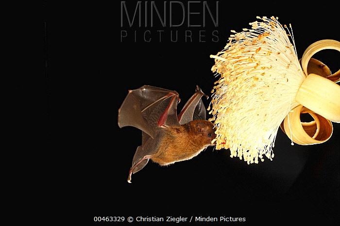 Pallas' Long-tongued Bat (Glossophaga soricina) feeding on nectar of Pseudobombax (Pseudobombax sp) flower, Smithsonian Tropical Research Station, Barro Colorado Island, Panama  -  Christian Ziegler