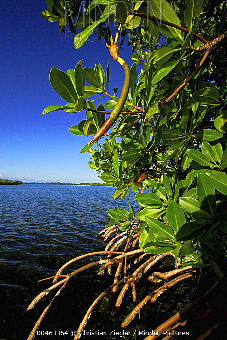 Red Mangrove (Rhizophora mangle) stand, Twin Cays, Carrie Bow Cay, Belize  -  Christian Ziegler
