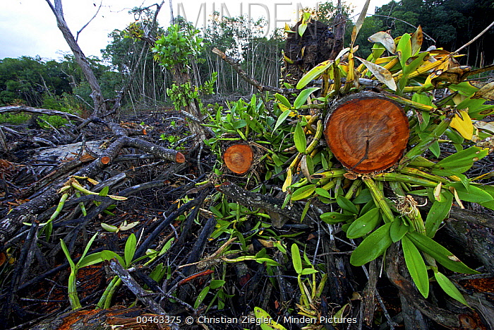 Red Mangrove (Rhizophora mangle) old growth stands clear cut for tourist housing, Hopkins, Belize  -  Christian Ziegler
