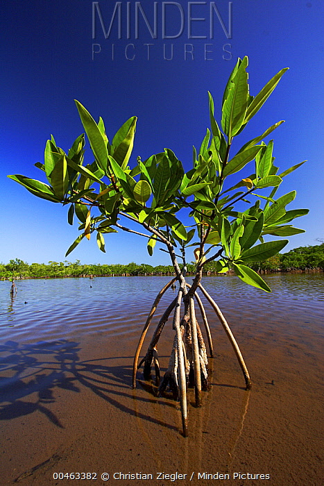 Red Mangrove (Rhizophora mangle) new growth, Twin Cays, Carrie Bow Cay, Belize  -  Christian Ziegler