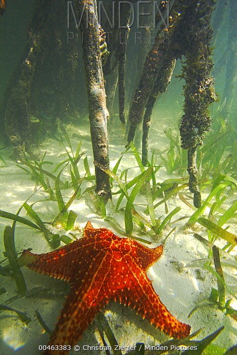 Cushioned Star (Oreaster reticulatus) feeding in sea grass between the roots of Red Mangroves (Rhizophora mangle), Carrie Bow Cay, Belize  -  Christian Ziegler