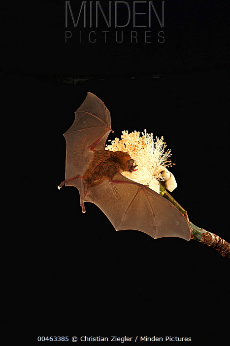 Pallas' Long-tongued Bat (Glossophaga soricina) feeding on nectar of Pseudobombax (Pseudobombax sp) flower, Smithsonian Tropical Research Station, Barro Colorado Island, Panama  -  Christian Ziegler
