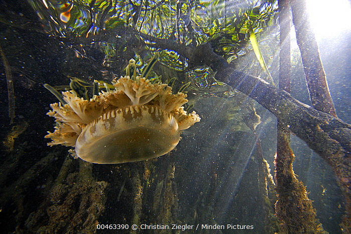 Upside-down Jellyfish (Cassiopea xamachana) floating between the aerial roots of Red Mangrove (Rhizophora mangle), Twin Cays, Carrie Bow Cay, Belize  -  Christian Ziegler