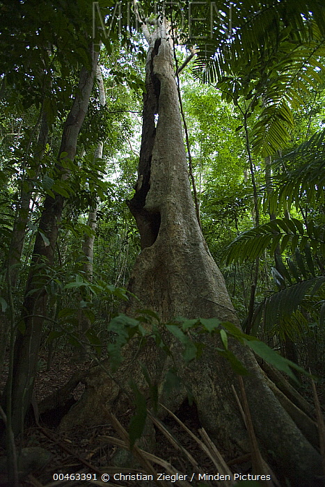 Hallow tree in rainforest used by bats for roosting, Smithsonian Tropical Research Station, Barro Colorado Island, Panama  -  Christian Ziegler
