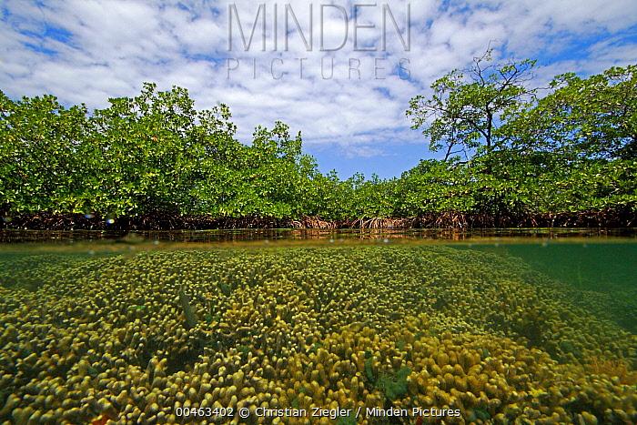 Hump Coral (Porites sp) growing directly under Red Mangrove (Rhizophora mangle), Bastimentos Marine National Park, Bocas del Toro, Panama  -  Christian Ziegler