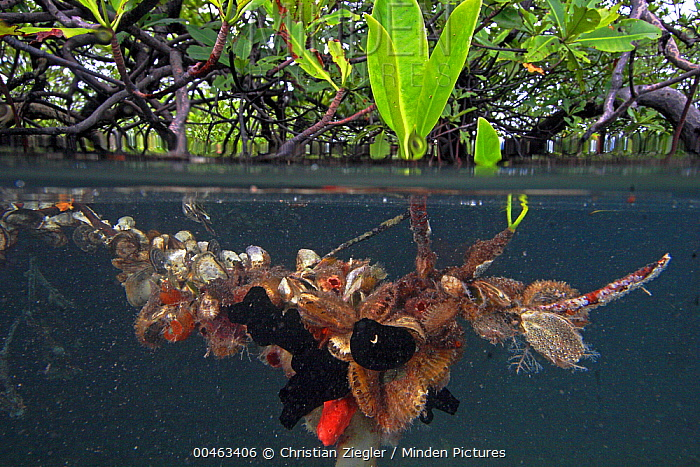 Red Mangrove (Rhizophora mangle) aerial roots provide space for a large community of invertebrates, Bastimentos Marine National Park, Bocas del Toro, Panama  -  Christian Ziegler