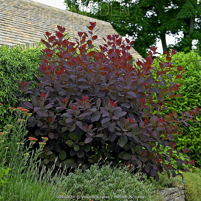 minden pictures stock photos european smoketree cotinus. Black Bedroom Furniture Sets. Home Design Ideas