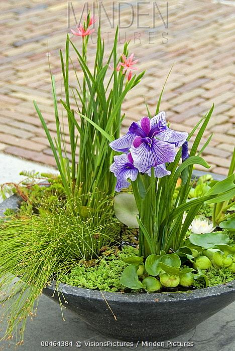 Japanese Iris (Iris ensata), Common Water Hyacinth (Eichhornia crassipes), Eastern Mosquito-fern (Azolla caroliniana), Kaffir Lily (Schizostylis coccinea), Low Bulrush (Scirpus cernuus), Parrot Feather (Myriophyllum aquaticum), and Water Lily (Nymphaea sp)  -  VisionsPictures
