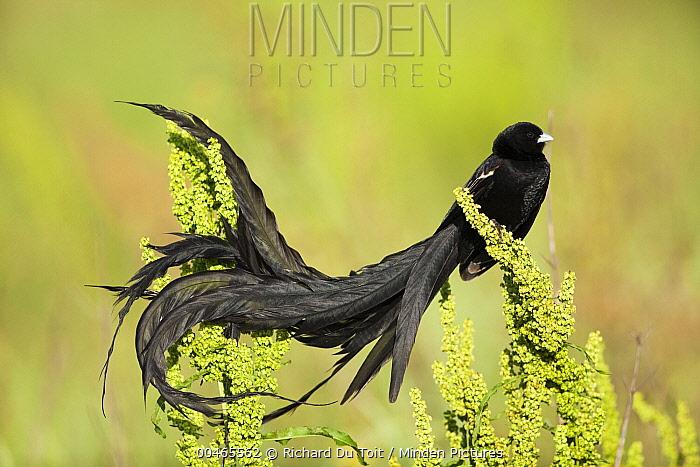 Long-tailed Widow (Euplectes progne) male in breeding plumage, South Africa  -  Richard Du Toit