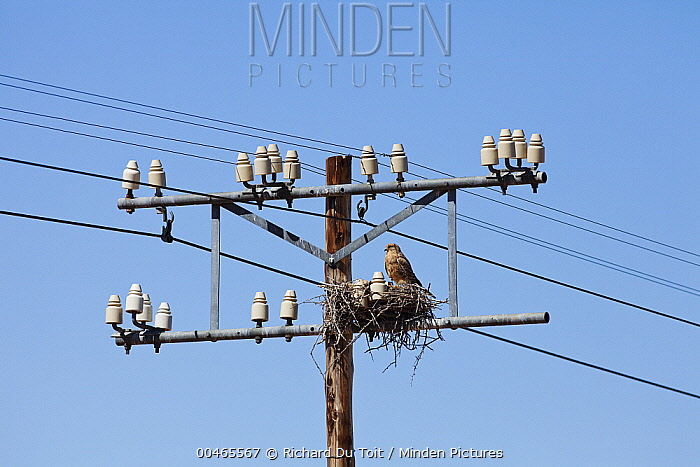 Greater Kestrel (Falco rupicoloides) on nest on electricity pole, Northern Cape, South Africa  -  Richard Du Toit