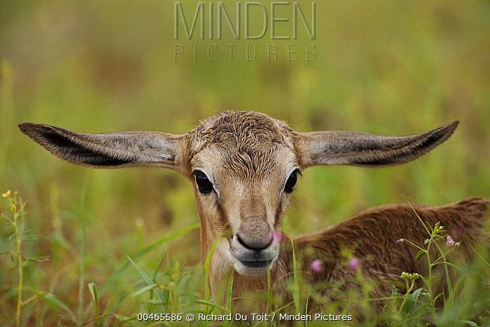 Springbok (Antidorcas marsupialis) calf, Kalahari, Northern Cape, South Africa  -  Richard Du Toit
