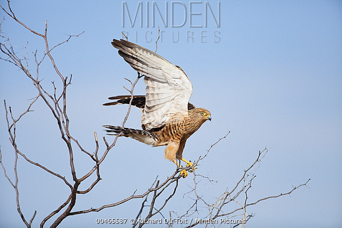 Greater Kestrel (Falco rupicoloides) taking flight, Kalahari, Northern Cape, South Africa  -  Richard Du Toit