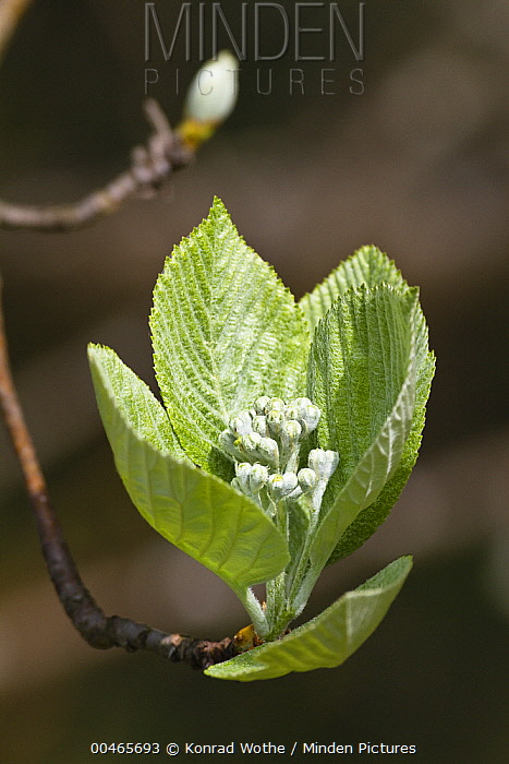 Common Whitebeam (Sorbus aria) flower buds, Alps, Bavaria, Germany  -  Konrad Wothe