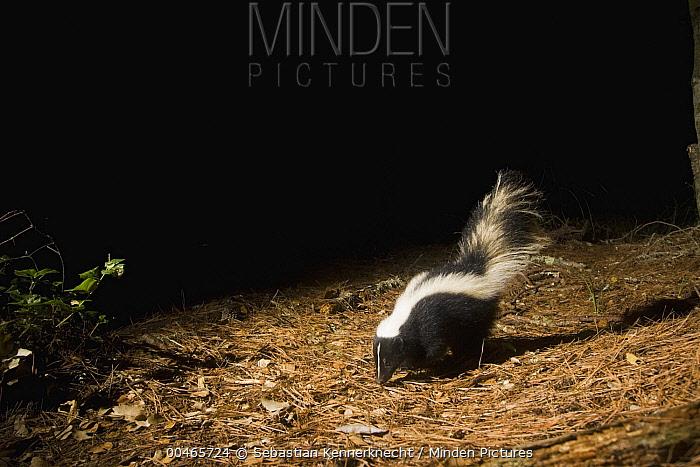 Striped Skunk (Mephitis mephitis) at night, Aptos, Monterey Bay, California  -  Sebastian Kennerknecht