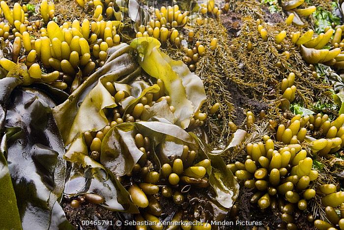 Brown Algae (Phaeostrophion irregulare), Seaweed (Laminariaceae), and Brown Algae (Analipus japonicus) covering intertidal rock, Santa Cruz, Monterey Bay, California  -  Sebastian Kennerknecht