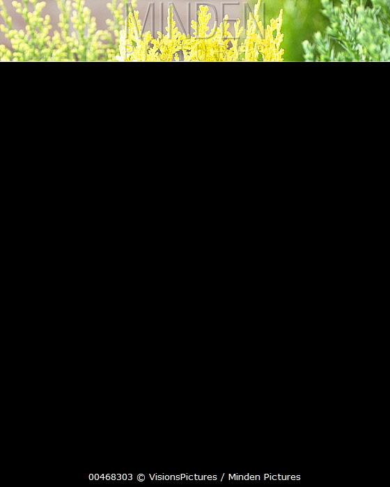 Western Red Cedar (Thuja plicata) daniellow variety  -  VisionsPictures