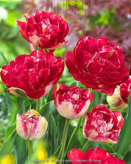 Minden Pictures Stock Photos Tulip Tulipa Sp Lady Montgomery