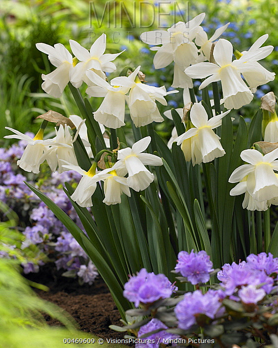 Horn Minden minden pictures stock photos daffodil narcissus sp horn of
