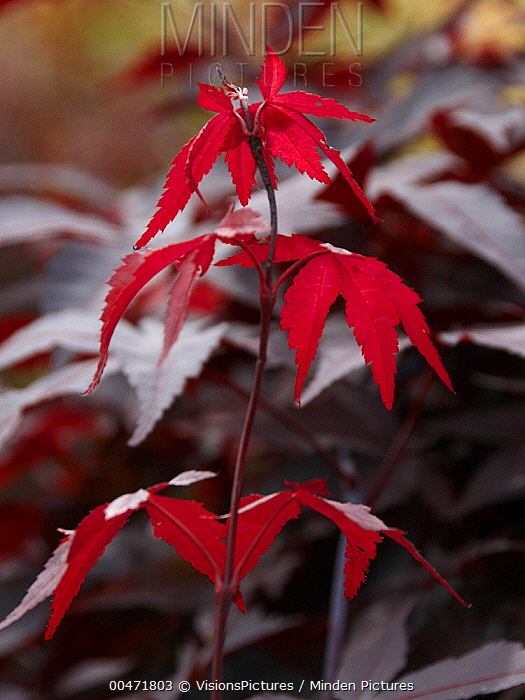 Japanese Maple (Acer palmatum) yubae variety  -  VisionsPictures