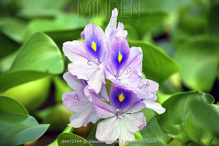 Common Water Hyacinth (Eichhornia crassipes) flowers  -  VisionsPictures