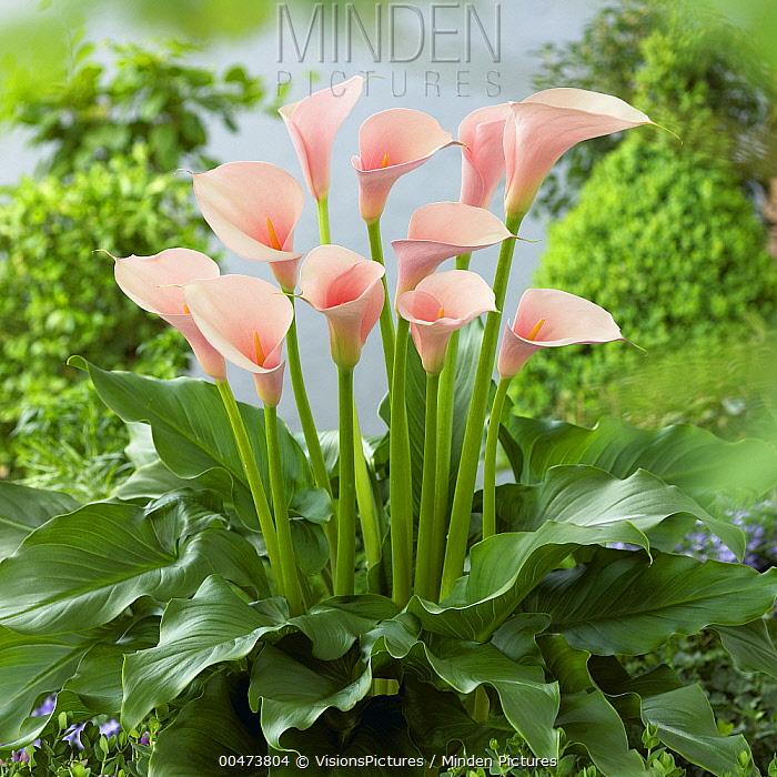Minden Pictures Stock Photos Calla Lily Zantedeschia Aethiopica