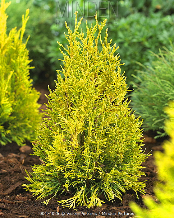 Western Red Cedar (Thuja plicata) forever goldy variety  -  VisionsPictures