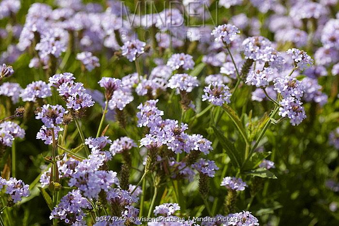 Sandpaper Verbena Rigida Polaris Variety Flowers Visiontures