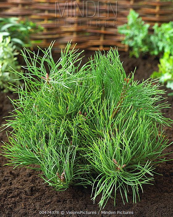 Mountain Pine (Pinus mugo) mughus variety  -  VisionsPictures
