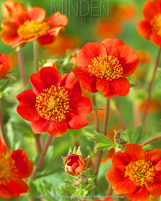 Scarlet Avens (Geum coccineum) koi variety flowers  -  VisionsPictures