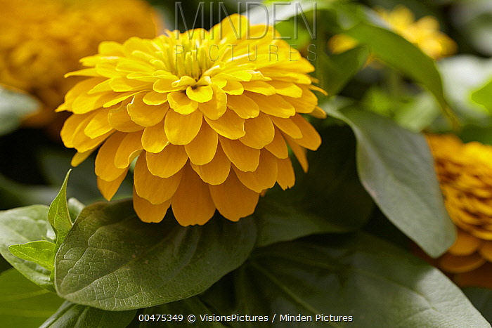 Zinnia (Zinnia sp) magellan yellow variety flowers  -  VisionsPictures