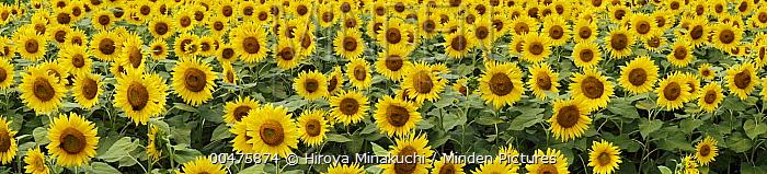 Common Sunflower (Helianthus annuus), Yamanashi, Japan  -  Hiroya Minakuchi