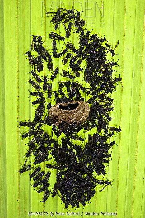 Wasp (Polybia sp) constructing nest, Yasuni National Park, Amazon Rainforest, Ecuador  -  Pete Oxford