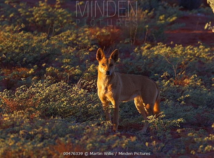 Dingo (Canis lupus dingo) female, Uluru, Northern Territory, Australia  -  Martin Willis