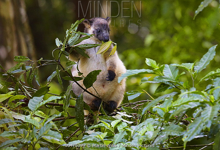 Lumholtz's Tree-kangaroo (Dendrolagus lumholtzi) juvenile eating leaves, Atherton Tableland, Queensland, Australia  -  Martin Willis