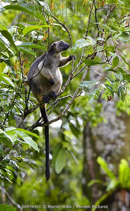 Lumholtz's Tree-kangaroo (Dendrolagus lumholtzi) female, Atherton Tableland, Queensland, Australia  -  Martin Willis