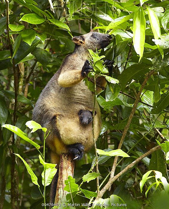 Lumholtz's Tree-kangaroo (Dendrolagus lumholtzi) female with pouched joey, Atherton Tableland, Queensland, Australia  -  Martin Willis