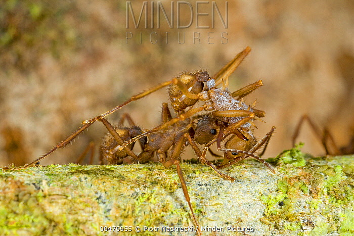 Leafcutter Ant (Acromyrmex sp) carrying worker covered with spores of antibiotic bacteria that help the ants control the growth of parasitic fungi within their fungal gardens, Guyana  -  Piotr Naskrecki