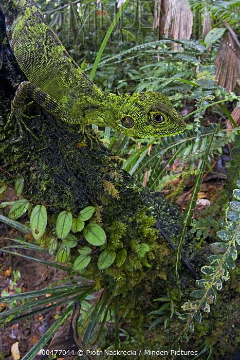 Modest Forest Dragon (Hypsilurus modestus) camouflaged on branch, Papua New Guinea  -  Piotr Naskrecki