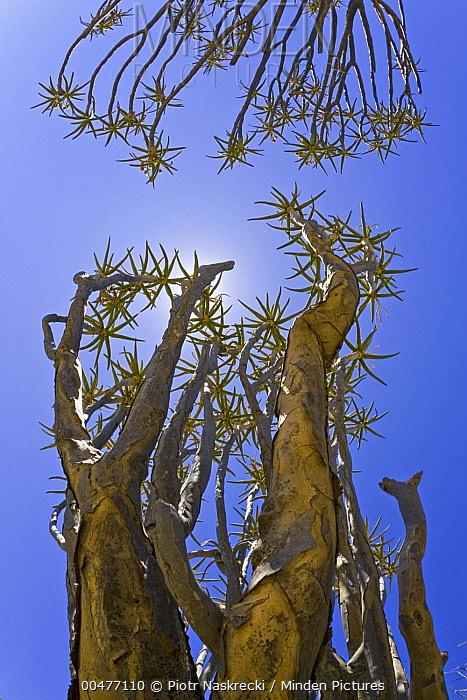 Quiver Tree (Aloe dichotoma) in succulent karoo habitat, South Africa  -  Piotr Naskrecki
