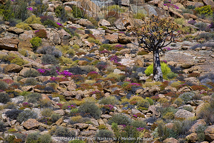 Quiver Tree (Aloe dichotoma) and other succulent karoo vegetation after rain, Geogap Nature Reserve, South Africa  -  Piotr Naskrecki