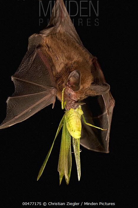Common Big-eared Bat (Micronycteris microtis) with Katydid prey, Barro Colorado Island, Panama  -  Christian Ziegler