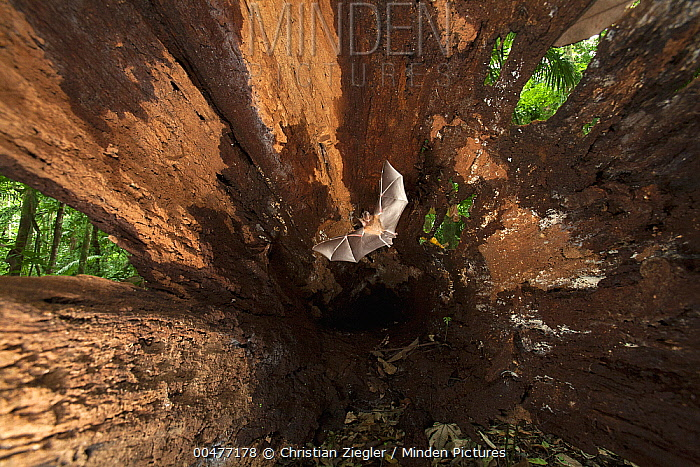Common Big-eared Bat (Micronycteris microtis) flying in hollow tree, Barro Colorado Island, Panama  -  Christian Ziegler