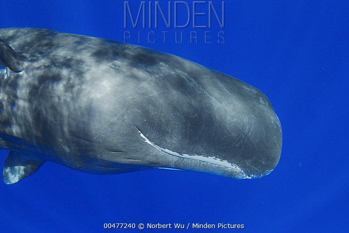 Sperm Whale (Physeter macrocephalus) head showing eye, Caribbean Sea, Dominica  -  Norbert Wu