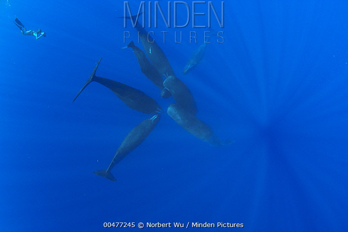 Sperm Whale (Physeter macrocephalus) group of seven with diver filming them, Caribbean Sea, Dominica  -  Norbert Wu