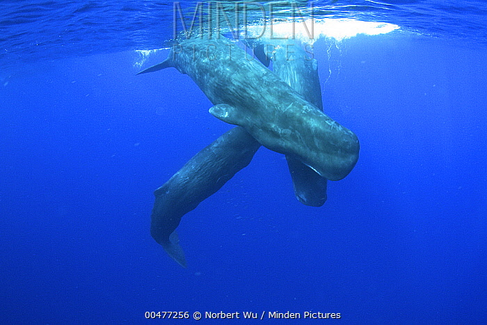 Sperm Whale (Physeter macrocephalus) trio, Caribbean Sea, Dominica  -  Norbert Wu