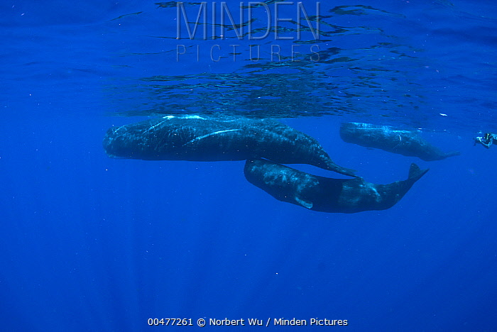 Sperm Whale (Physeter macrocephalus) trio with diver, Caribbean Sea, Dominica  -  Norbert Wu