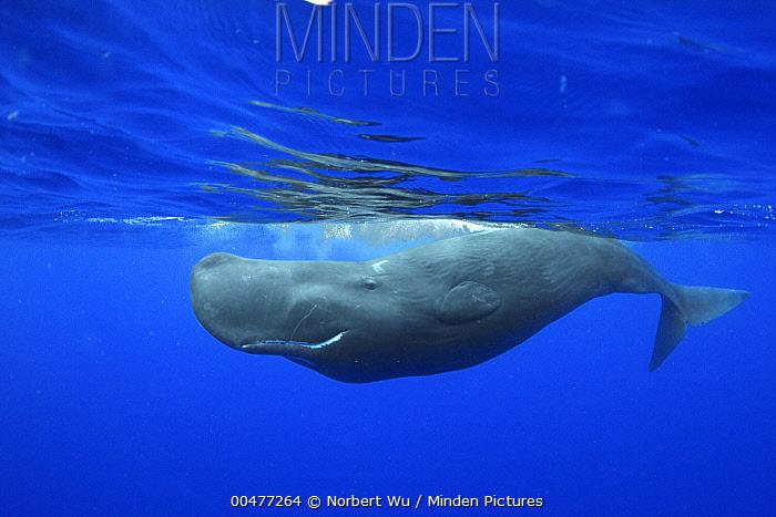 Sperm Whale (Physeter macrocephalus), Caribbean Sea, Dominica  -  Norbert Wu