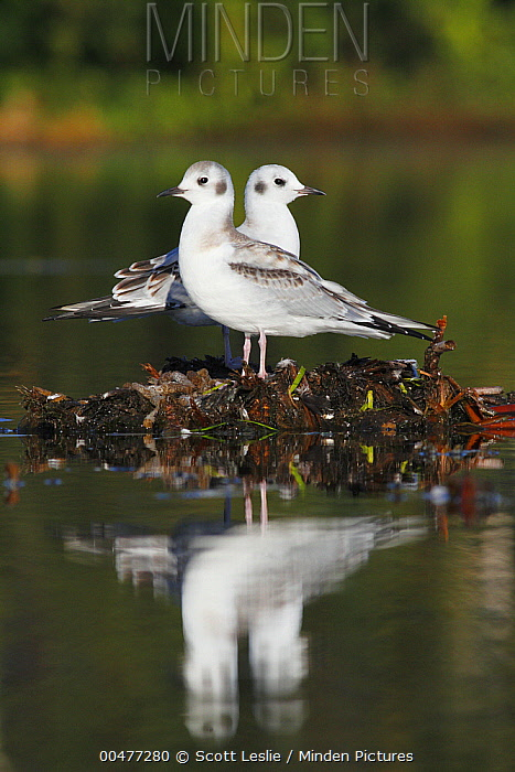 Bonaparte's Gull (Larus philadelphia) juveniles in marsh, Nova Scotia, Canada  -  Scott Leslie