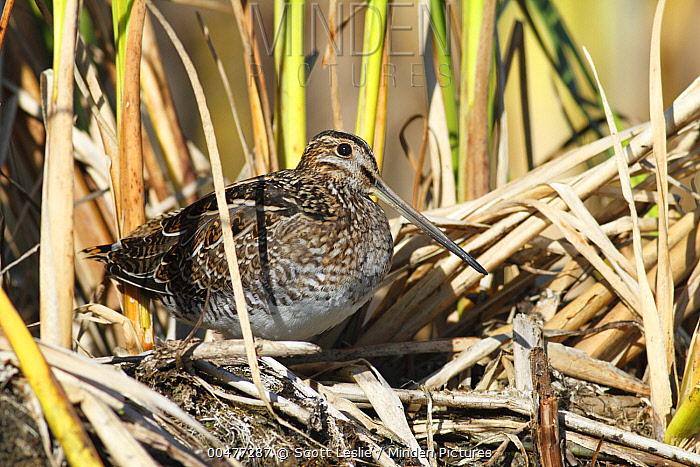 Common Snipe (Gallinago gallinago) among reeds, Nova Scotia, Canada  -  Scott Leslie